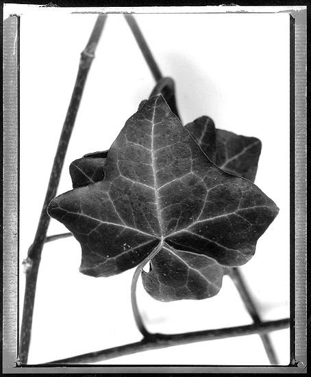 Ivy in Pont-Aven 09